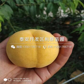 金陵黃露桃樹苗批發價格