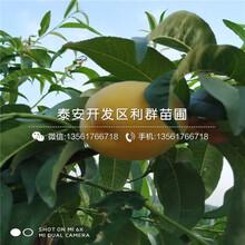 早熟油桃树苗、早熟油桃树苗报价及基地图片