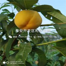 中油19号桃树苗品种图片