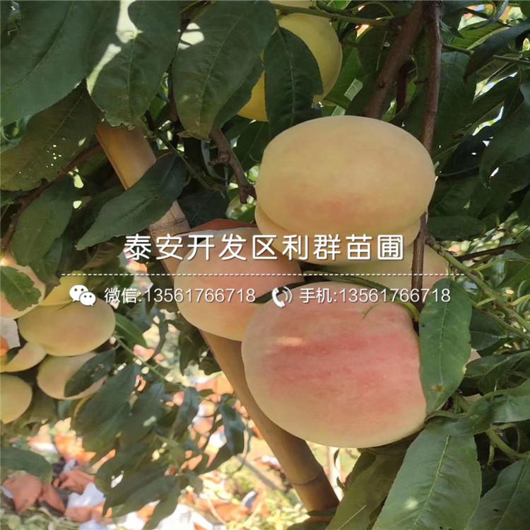 中熟蟠桃树苗、中熟蟠桃树苗基地