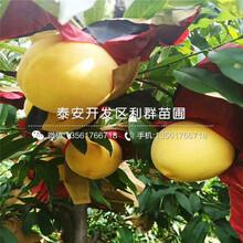 非洲黑妹桃苗新品種、非洲黑妹桃苗價格及基地圖片