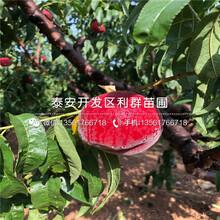 白桃树苗基地、白桃树苗价格及报价图片