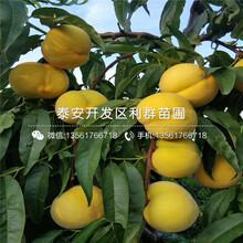 黄金蜜桃树苗新品种图片