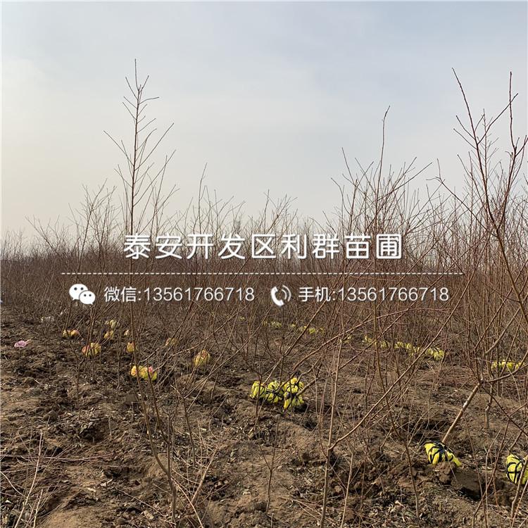 艳红桃树苗报价及基地