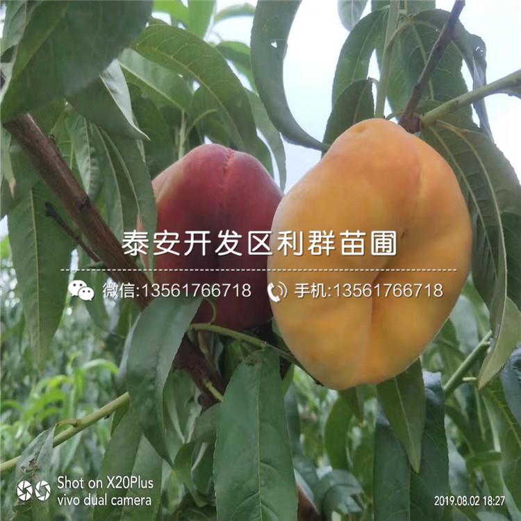 7-7油蟠桃树苗价格、7-7油蟠桃树苗出售
