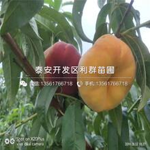 春美桃树苗、春美桃树苗新品种图片