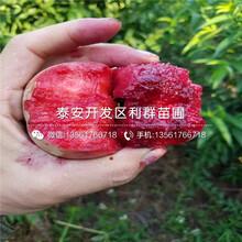 新品種桃苗圖片