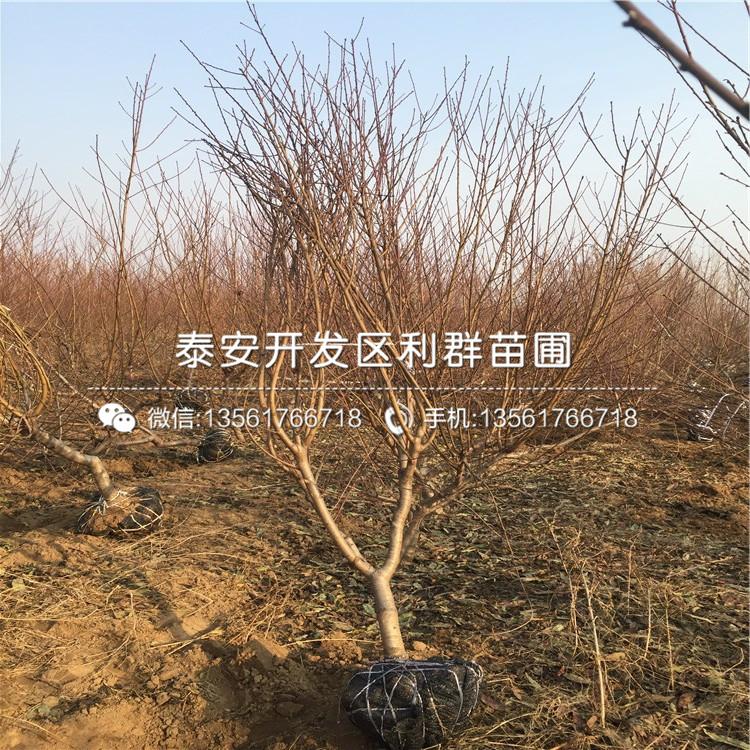 春麗桃樹苗批發、春麗桃樹苗價格