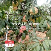 春蜜桃樹苗新品種圖片