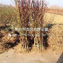 新黄金蜜1号桃树苗品种、新黄金蜜1号桃树苗基地及报价图片