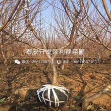 中华巨蟠桃苗、中华巨蟠桃苗出售价格图片