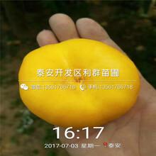 金香妃油蟠桃树苗报价、金香妃油蟠桃树苗价格图片