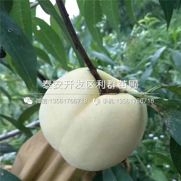 世纪之星桃树苗品种介绍、2020年世纪之星桃树苗价格