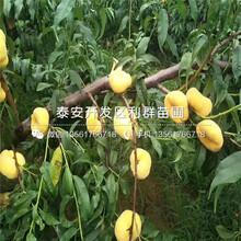 黄金桃树苗、黄金桃树苗价位图片