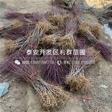 批發北京8號桃樹苗、北京8號桃樹苗價格圖片