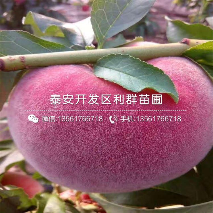 春蜜桃苗价格