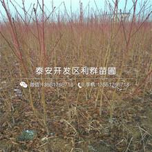 黃金(jin)蜜4號桃苗、黃金(jin)蜜4號桃苗價位(wei)圖(tu)片