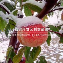 黄金桃树苗价格、山东黄金桃树苗图片