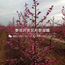 早凤王桃树苗品种、早凤王桃树苗基地及报价图片