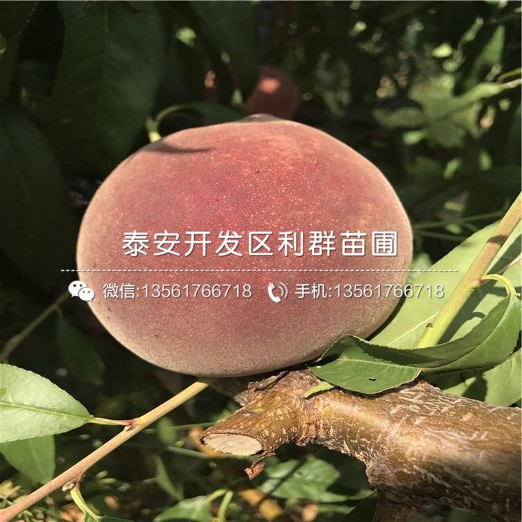 晚熟蟠桃树苗价格、晚熟蟠桃树苗出售