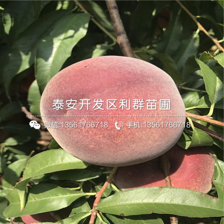 锦春黄桃树苗出售基地