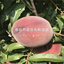 早春王桃树苗图片