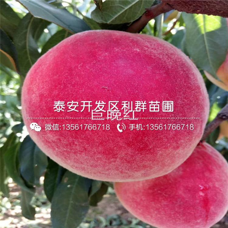 中油金冠桃樹苗新品種、中油金冠桃樹苗價格及報價