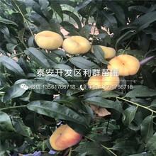 早油蟠桃树苗、早油蟠桃树苗批发价格图片