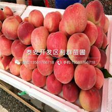 油蟠7-7桃树苗价格、2020年油蟠7-7桃树苗价格图片