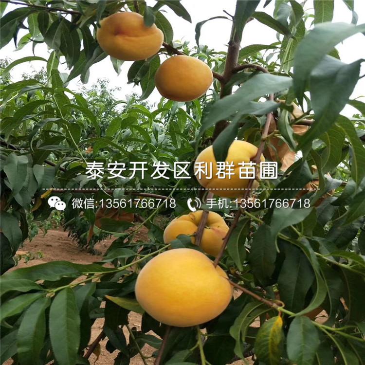 新黄金蜜1号桃树苗、新黄金蜜1号桃树苗出售基地
