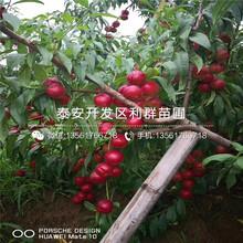 沙红桃树苗批发、沙红桃树苗价格及基地图片