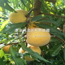 美国红蟠桃苗新品种图片