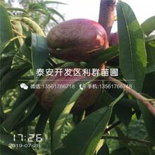 新品种桃苗品种、新品种桃苗基地及报价图片