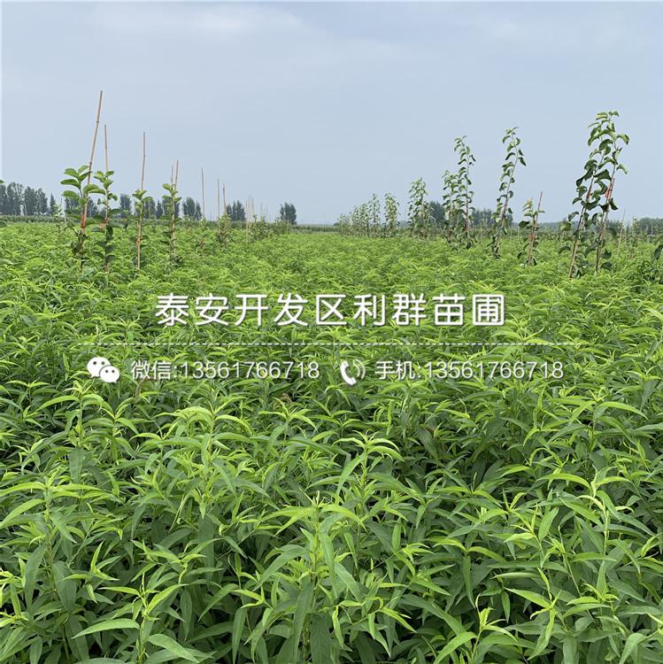 未來1號桃樹苗出售、未來1號桃樹苗價格