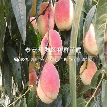 山東夏(xia)麗桃樹苗、夏(xia)麗桃樹苗價格圖(tu)片