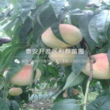 批发莱山蜜桃树苗、莱山蜜桃树苗价格图片