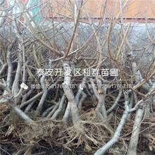 山东鲁红618桃树苗、鲁红618桃树苗价格图片