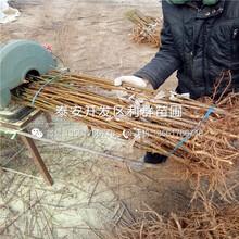 新世紀2號黃桃樹苗出售、新世紀2號黃桃樹苗價格圖片