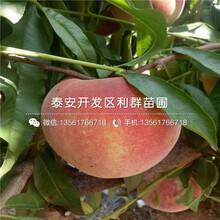 早熟油桃树苗出售、早熟油桃树苗价格图片