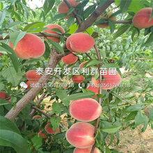 中蟠11号桃树苗、中蟠11号桃树苗品种图片