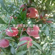 中熟油桃树苗基地图片