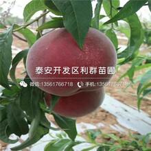 晚熟桃樹苗價格、山東晚熟桃樹苗圖片