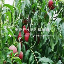 新品种早甜蜜桃树苗价格、新品种早甜蜜桃树苗基地图片