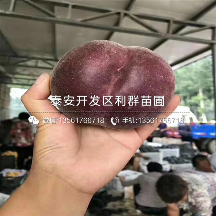 油桃桃樹苗批發