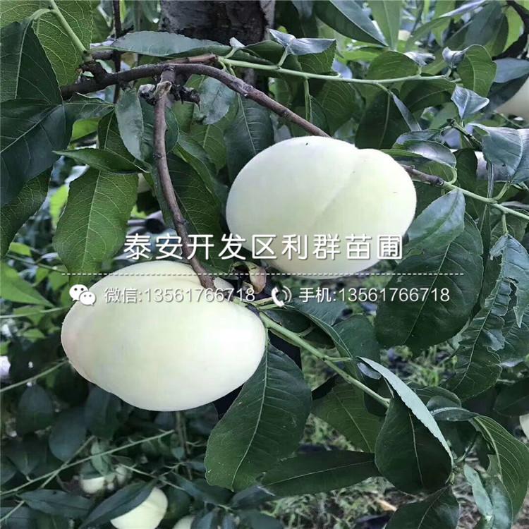 批發紫血桃樹苗、批發紫血桃樹苗價格