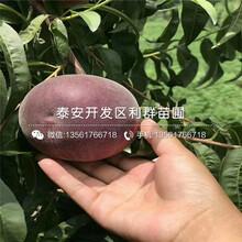 黑桃王桃樹苗品種、黑桃王桃樹苗基地及報價圖片