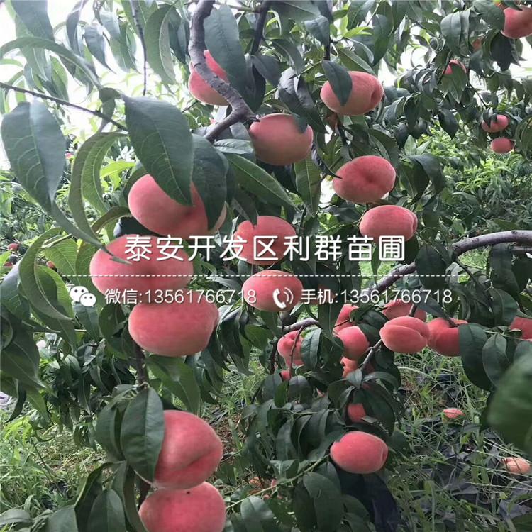 山东水蜜桃桃树苗、水蜜桃桃树苗基地