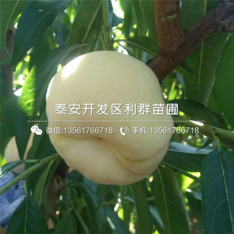 泰安晚熟黃桃苗