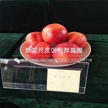 瑞蟠16号桃树苗、瑞蟠16号桃树苗价钱图片