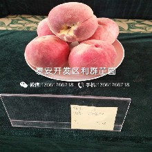 出售晚熟油桃苗、晚熟油桃苗价格图片